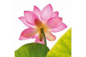 Стъклена картина LOTOS FLOWER